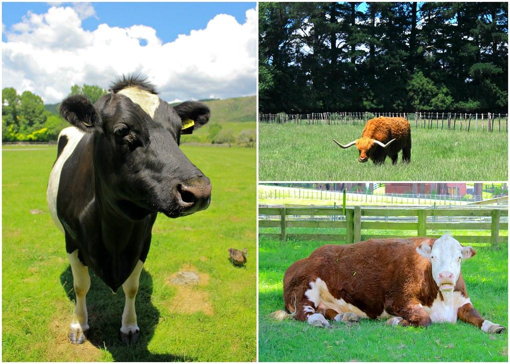 agrodome-farm-new-zealand-cows