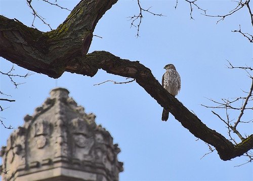 Cooper's hawk with Gothic architecture