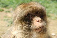 Le regard du macaque