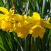 Daffodil (Narcissus pseudonarcissus)