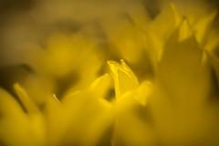 verloren, im Blütenblätter-Meer, lost in ..