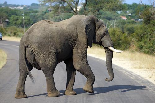 2017 southafrica afrique afrika sar sonyalpha77 sonyalpha99 tamron alpha bechen fotos photos photography sony herryb mpumalanga gamedrive pirschfahrt 4x4 toyota busch bush kruger nationalpark krüger ga