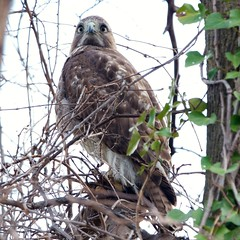 Red-tailed Hawk, juvenile at Valley Stream SP