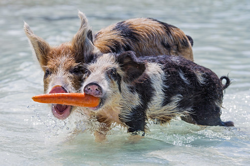 portrait funny two young together fighting disputing biting carrot food pig swimming exuma cay cute sea beach bahamas island vacation nikon d5