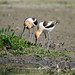 Small photo of American Avocet (Recurvirostra americana)