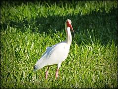 White Ibis_P4230012_Clwtr,Fl