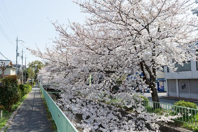 白川疏水の桜