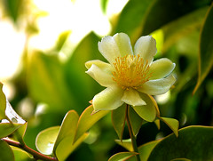 """Flor comestível da trepadeira Ora-pro-nóbis - Barbados yellow gooseberry - (Pereskia aculeata """"godseffiana"""") - Edible flower"""