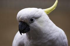 wing(0.0), parakeet(0.0), african grey(0.0), cockatoo(1.0), animal(1.0), parrot(1.0), white(1.0), sulphur crested cockatoo(1.0), fauna(1.0), close-up(1.0), beak(1.0), bird(1.0), wildlife(1.0),