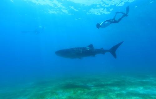 菲律賓Oslob(歐斯陸),人與鯨鯊共游,柯金源攝。