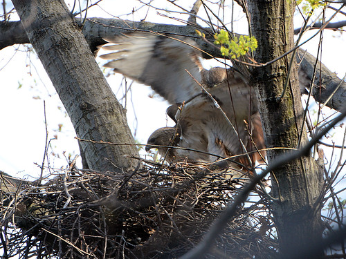 Red-Tailed Hawks (6869)