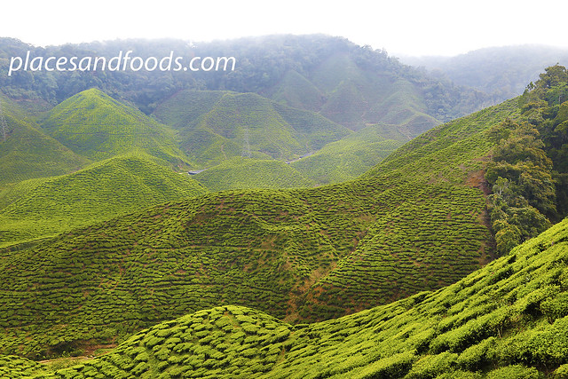 cameron valley ringlet tea plantation