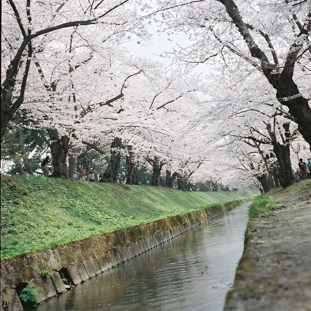 6x6の桜風景【8】 - HASSELBLAD 500C/M -