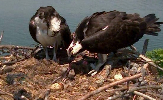 Mom feeds the babies in this screen shot from the live osprey cam