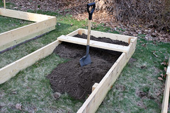 pea planting IMG_7298