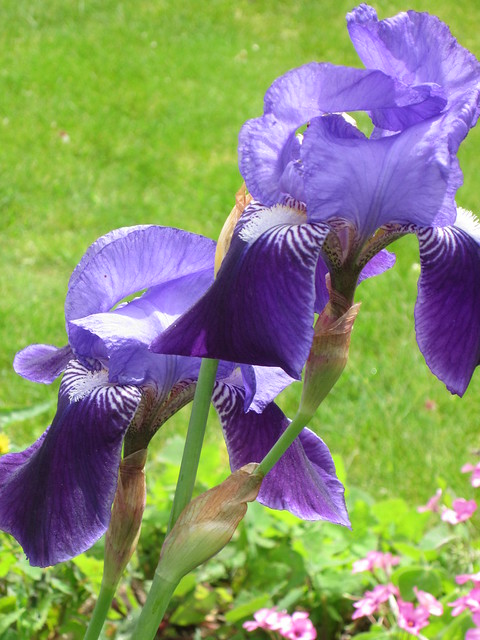 April 27 2014 garden (17)