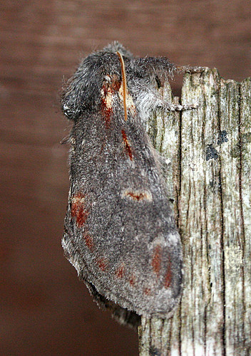 Iron Prominent Notodonta dromedarius Tophill Low NR, East Yorkshire May 2014