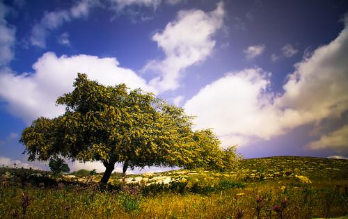 blue sky palestine middleeast treeyellow flickrbook yanoun