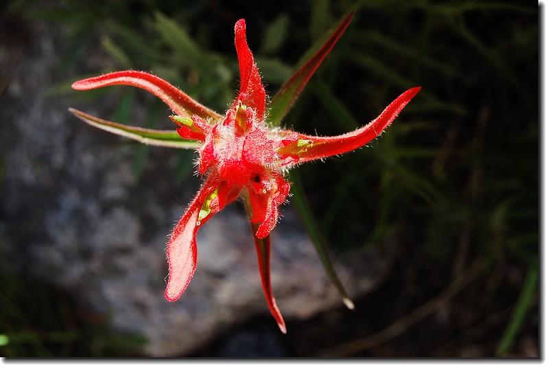 Scarlet Paintbrush(Glacier Gorge trail) 1