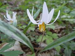 lily, erythronium, flower, wildflower, flora,