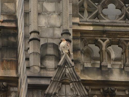 Cathedral Hawk (1035)
