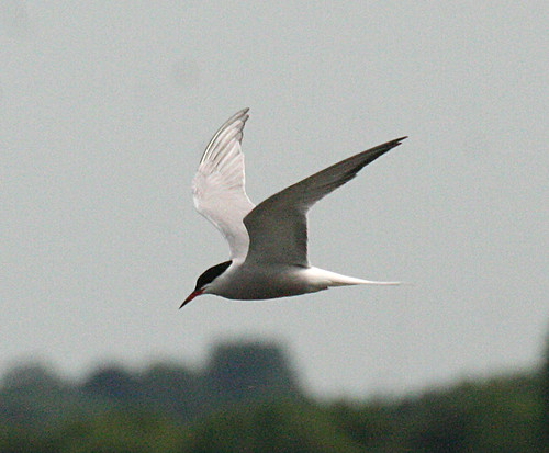 Common Tern Sterna hirundo Tophill Low NR, East Yorkshire May 2014