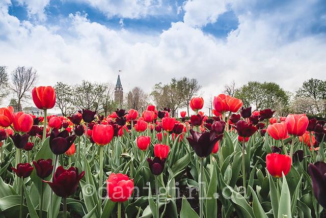 Parliament through red tulips