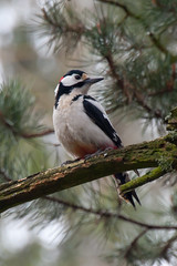 Dendrocopos major - Great Spotted Woodpecker - 2014