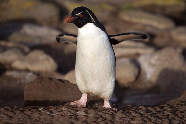 Rockhopper penguin on Saunders Island.