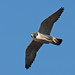 "Peregrine Falcon by ""Clare"""