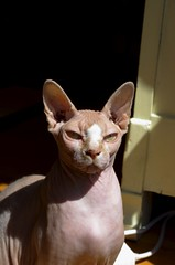 oriental shorthair(0.0), burmese(0.0), whiskers(0.0), ocicat(0.0), animal(1.0), sphynx(1.0), peterbald(1.0), small to medium-sized cats(1.0), pet(1.0), ukrainian levkoy(1.0), donskoy(1.0), cat(1.0), carnivoran(1.0), devon rex(1.0), hairless cat(1.0),