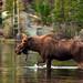 Moose in Sprague Lake by Bryce Bradford