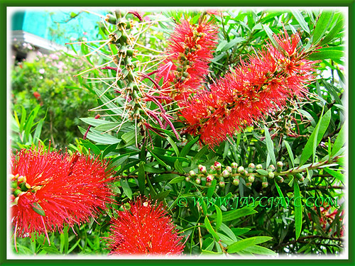 Brilliant red flower spikes of Callistemon citrinus (Red Bottlebrush, Crimson/Lemon Bottlebrush)