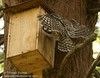 Barred Owl arrives at nest box w prey (?)