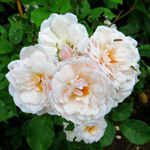 Blush Noisette Rose 29 May 2014 0822Ri sq