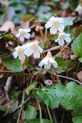 Shortia galacifolia (Oconee bells)