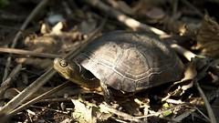 柴棺龜。(攝影:陳添喜;圖片來源:林務局)