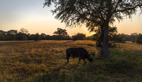 sunrise southafrica buffalo krugernationalpark mpumalanga capebuffalo krugerpark kruger africanbuffalo sabisands umkumbe krugersunrise umkumbesafarilodge