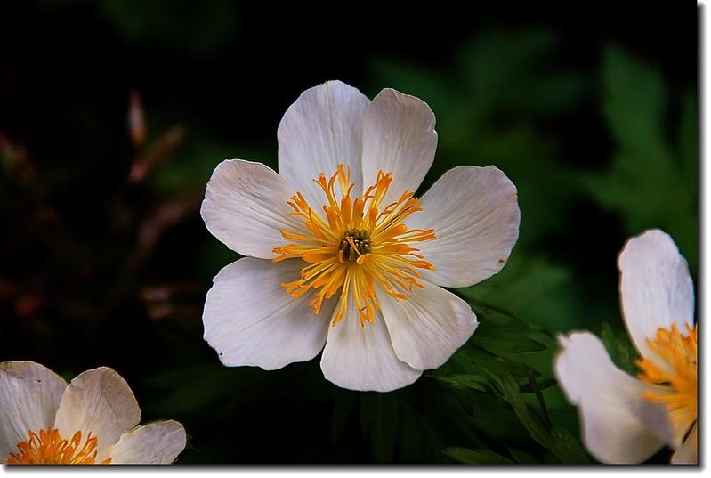 White Globeflower 2