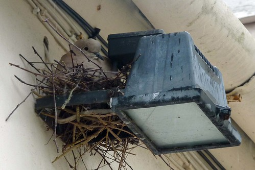Collared Dove an unusual home