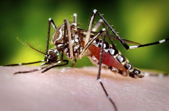 Esta fotografia 2006 mostrava uma fêmea Aedes aegypti mosquito enquanto ela estava em processo de aquisição de uma refeição de sangue de seu hospedeiro humano, que, neste caso, era na verdade o fotógrafo biomédica, James Gathany, aqui nos Centros de Controle de Doenças.