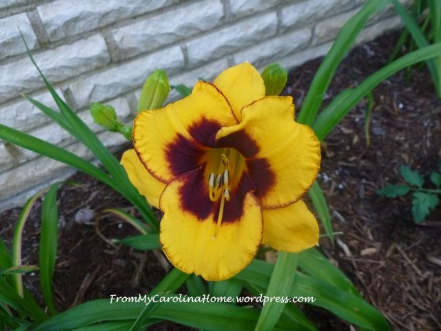 YellowDaylily
