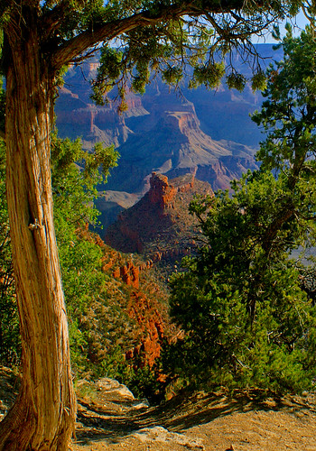 Tree with a View, Grand Canyon, Arizona