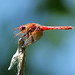 Red Meadowhawk dragon fly by jimculp@live.com / ProRallyPix