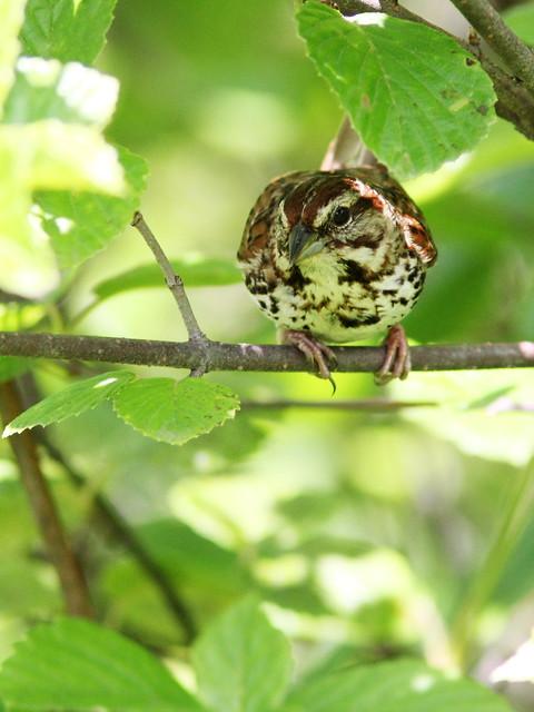 Song Sparrow 20140608