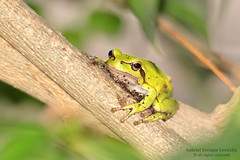 Middle East Tree Frog