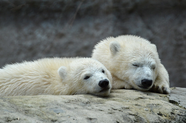 Nela und Nobby die Eisbärzwillinge