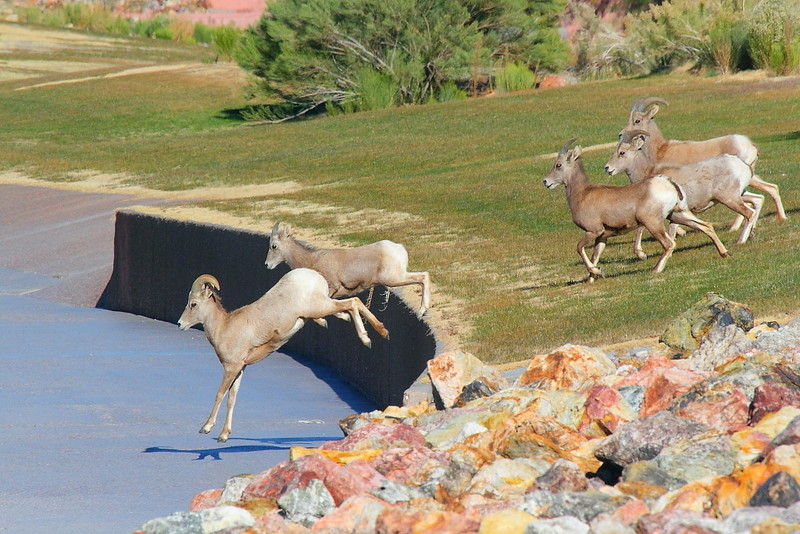 "IMG_1268 Police ""Herding"" Bighorn Sheep away from US-93"