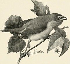 "Image from page 392 of ""Key to North American birds. Containing a concise account of every species of living and fossil bird at present known from the continent north of the Mexican and United States boundary, inclusive of Greenland and lower California,"