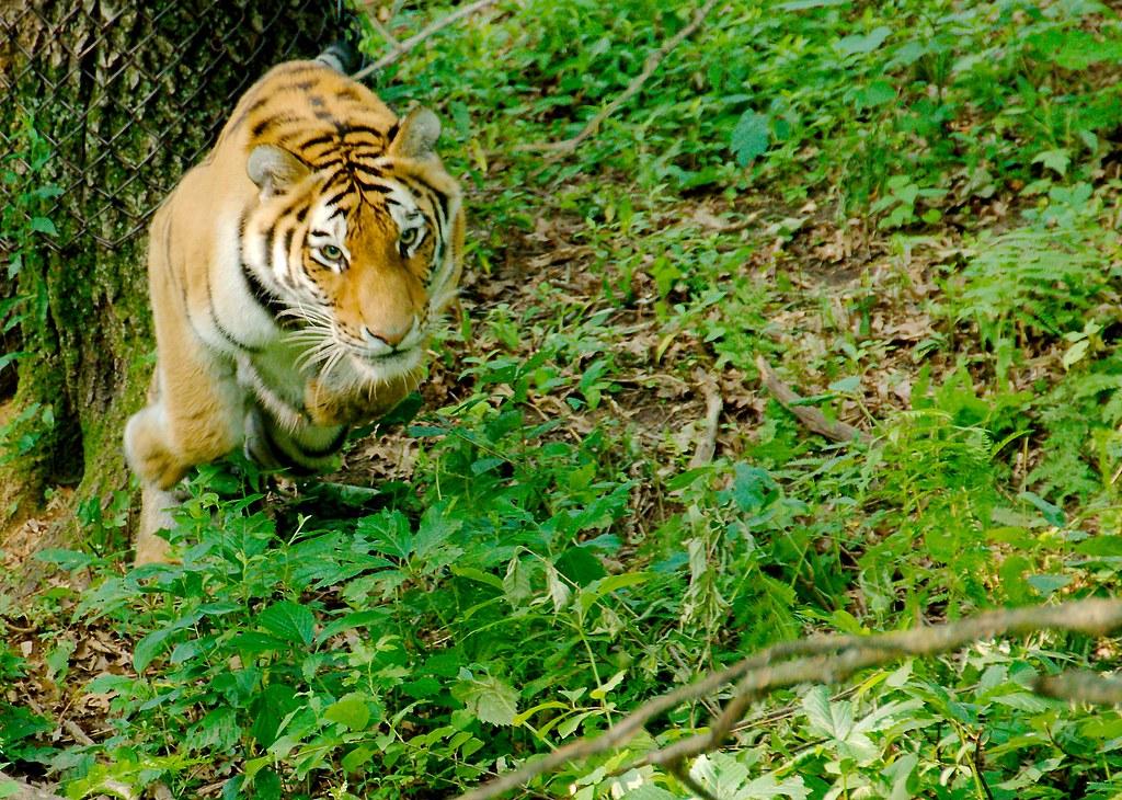 Siberian Tiger_4